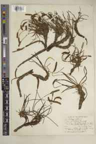 Plantago maritima herbarium specimen from Ross Lough, VCH33 Fermanagh in 1947 by Edward Norman Carrothers.