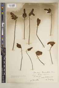 Plantago lanceolata herbarium specimen from Falmouth, VC1 West Cornwall in 1931 by William Tresidder.
