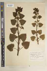 Scrophularia vernalis herbarium specimen collected in 1915 by Alfred Webster.