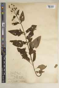 Scrophularia nodosa herbarium specimen from Richmond Park, Isabella Plantation, VC17 Surrey in 1929 by Richmond Park Committee.
