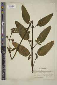 Scrophularia auriculata herbarium specimen from Headley Heath, VC17 Surrey in 1919 by Mr Charles Edward Britton.