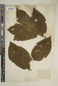 Verbascum phlomoides herbarium specimen from Byfleet, VC17 Surrey in 1916 by Mr Charles Edward Britton.