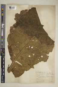 Verbascum phlomoides herbarium specimen from Bookham, VC17 Surrey in 1933 by Brian Lawrence Burtt.