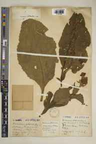 Verbascum phlomoides herbarium specimen from Hitchin, VC20 Hertfordshire in 1926 by Mr Joseph Edward Little.