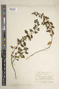 Teucrium chamaedrys herbarium specimen from Upham, VC11 South Hampshire in 1915 by Mr Noel Yvri Sandwith.