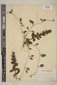 Ajuga reptans herbarium specimen from Heyshott, VC13 West Sussex in 1935 by Mr Edward Charles Wallace.