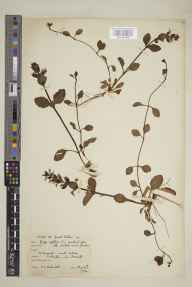 Ajuga reptans herbarium specimen from Wraxall, VC6 North Somerset in 1930 by Mrs Cecil Ivry Sandwith.