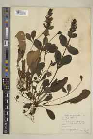 Ajuga reptans herbarium specimen from Leigh Woods, VC6 North Somerset in 1927 by Mr Noel Yvri Sandwith.