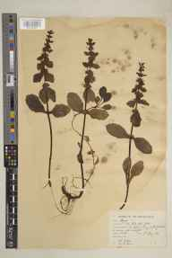 Ajuga reptans herbarium specimen from Buckden, VC64 Mid-west Yorkshire in 1933 by Arthur Keith Jackson.