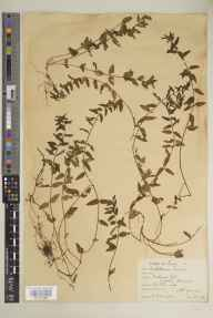 Scutellaria minor herbarium specimen from Richmond Park, Isabella Plantation, VC17 Surrey in 1929 by Richmond Park Committee.