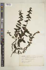 Scutellaria galericulata herbarium specimen from Mull, VC103 Mid Ebudes in 1921 by Professor Noel James Gillies Smith.