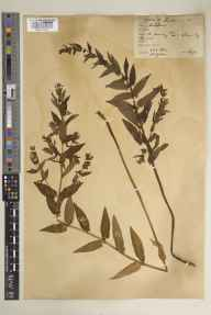 Scutellaria galericulata herbarium specimen from Pevensey, VC14 East Sussex in 1932 by Arthur Keith Jackson.
