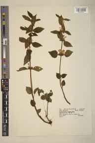 Lamium galeobdolon herbarium specimen from Ecton Bridge, VC39 Staffordshire in 1964 by P C D C.
