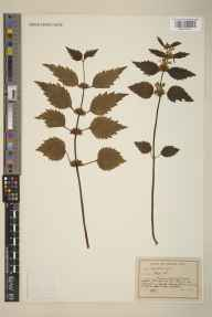 Lamium galeobdolon herbarium specimen from Leatherhead,Norbury Park, VC17 Surrey in 1948 by M Parker.