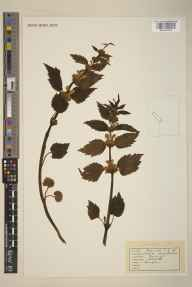 Lamium galeobdolon herbarium specimen from Hampden, VC24 Buckinghamshire in 1940.
