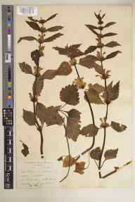Lamium album herbarium specimen from Drimnagh, VCH21 Co. Dublin in 1904 by Mr Robert Lloyd Praeger.