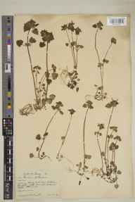 Lamium purpureum var. purpureum herbarium specimen from Leatherhead, VC17 Surrey in 1929 by William Bertram Turrill.