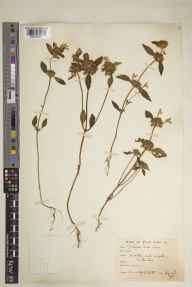 Galeopsis segetum herbarium specimen from Everton Carr, VC56 Nottinghamshire in 1918 by Mr Noel Yvri Sandwith.
