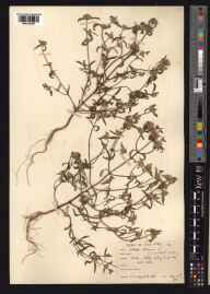 Galeopsis angustifolia herbarium specimen from East Tisted, VC12 North Hampshire in 1915 by Mr Noel Yvri Sandwith.
