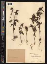 Galeopsis angustifolia herbarium specimen from Hitchin, VC20 Hertfordshire in 1912 by Charles Edward Moss.