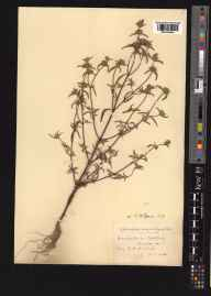 Galeopsis angustifolia herbarium specimen from Ashtead, VC17 Surrey in 1924 by Mr Edward Charles Wallace.