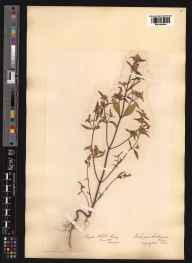 Galeopsis angustifolia herbarium specimen from Reigate Hill, VC17 Surrey in 1873 by Mr Albert John Crosfield.