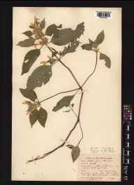 Galeopsis versicolor herbarium specimen from Everton Carr, VC56 Nottinghamshire in 1939 by Mr Noel Yvri Sandwith.