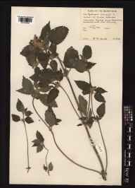 Galeopsis tetrahit herbarium specimen from Baleshare, VC110 Outer Hebrides in 1961 by Peter Francis Hunt.