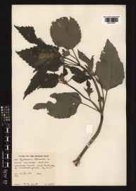 Galeopsis tetrahit herbarium specimen from Lochmaddy, VC110 Outer Hebrides in 1961 by Peter Francis Hunt.