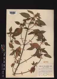 Galeopsis bifida herbarium specimen from Headless Cross, VC37,VC38 in 1953 by Clifford Charles Townsend.