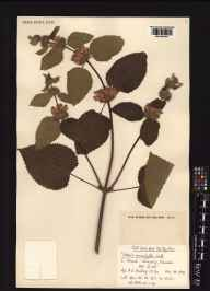 Phlomis  herbarium specimen from Kew, VC17 Surrey in 1976 by Anthony D Schilling.