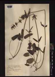 Stachys officinalis herbarium specimen from Wood Eaton, VC23 Oxfordshire in 1942 by Charles Edward Hubbard.