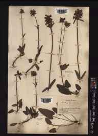 Stachys officinalis herbarium specimen from Epping Forest, VC18 South Essex in 1883 by J Fraser.