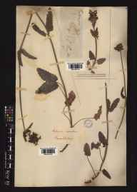 Stachys officinalis herbarium specimen collected in 1787 by Sir James Edward Smith.