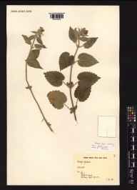 Stachys sylvatica herbarium specimen collected in 1991 by Miss Jo Dunn.