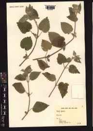 Stachys sylvatica herbarium specimen from England in 1991 by Miss Jo Dunn.