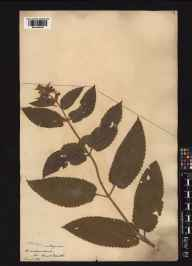 Stachys sylvatica x palustris = S. x ambigua herbarium specimen from Craddanstown, VCH23 Westmeath in 1835.