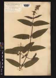 Stachys sylvatica x palustris = S. x ambigua herbarium specimen from Baslow, VC57 Derbyshire in 1878 by Mr Charles Bailey.