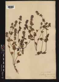 Stachys arvensis herbarium specimen from Swanage, VC9 Dorset in 1875 by Benjamin Thompson Lowne snr.
