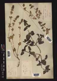 Stachys arvensis herbarium specimen collected in 1868 by George Curling Joad.