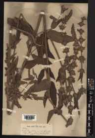 Stachys  herbarium specimen from Jersey, Bouley Bay, VC113 Channel Islands in 1929 by William Bertram Turrill.