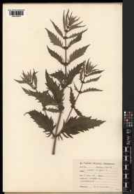Lycopus europaeus herbarium specimen from Sellafield, VC70 Cumberland in 1922 by Robert Hardy Williamson.