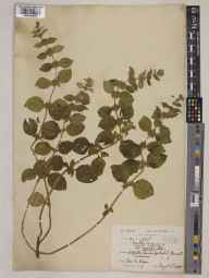 Mentha arvensis herbarium specimen from Bristol, VC6 North Somerset in 1928 by Ida Mary Roper.