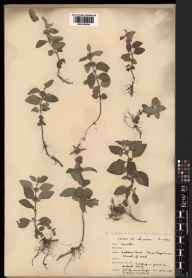 Mentha arvensis herbarium specimen from Ashdown Forest, VC14 East Sussex in 1931 by Edgar Wolston Bertram Handsley Milne-Redhead.