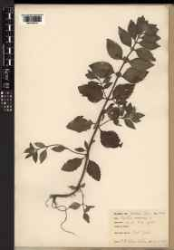Mentha arvensis herbarium specimen from VC62 North-east Yorkshire in 1957 by Mary McCallum Webster.