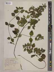 Mentha arvensis x aquatica = M. x verticillata herbarium specimen from Lough Craigduff, VCH16 West Galway in 1964 by Peter Francis Hunt.