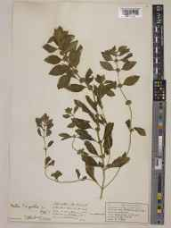 Mentha arvensis x spicata = M. x gracilis herbarium specimen from Brixham, VC3 South Devon in 1938 by Francis Morland Day.