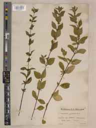 Mentha arvensis x spicata = M. x gracilis herbarium specimen from Leith Hill, VC17 Surrey in 1934 by Mr Edward Charles Wallace.