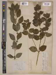 Mentha arvensis x spicata = M. x gracilis herbarium specimen from North Stoke, VC23 Oxfordshire in 1851 by William Godley.