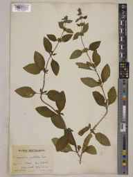Mentha arvensis x spicata = M. x gracilis herbarium specimen from Hack Fall, VC64 Mid-west Yorkshire in 1943 by Mr Edward Charles Wallace.
